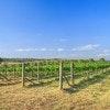 Squire's Vineyard