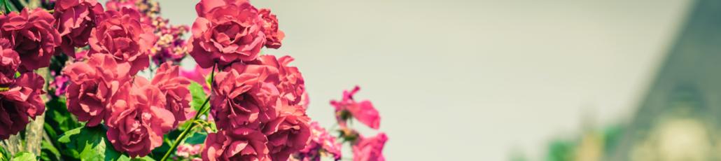 Roses littlehotelier